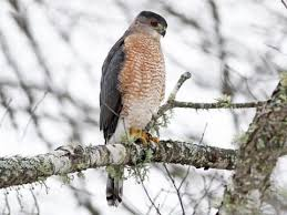 Coopers Hawk Identification All About Birds Cornell Lab