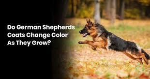 Do German Shepherds Coats Change Color As They Grow