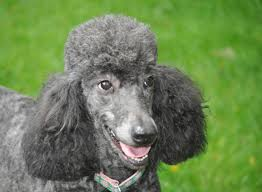 picket fence poodle rescue