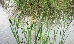 wild rice plant.  Plant Emergent Aquatic Plants Wild Rice Scientific Name Zizania Aquatica With Rice Plant F