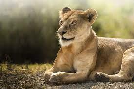 Lioness 4000×2670 African Lion Wild 4k ...