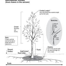 Tree Root Size Chart Overview Of How Trees Grow And Develop