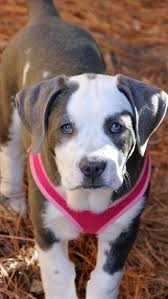 american bulldog pitbull mix. Delighful Bulldog American Bulldog Pitbull Mix 11 Weeks Old And 24 Pounds And Mix E