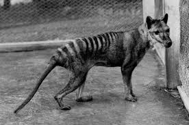 We upload a new incredible video every weekday. The Shared Evolution Of The Tasmanian Tiger And The Wolf
