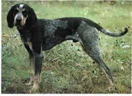 bluetick hound puppies for