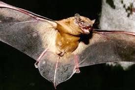 Летучие мыши рукокрылые фольклор летучих мышах мифы существо  Летучие мыши