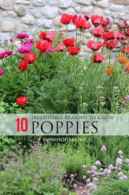 best growing poppies ideas creeping phlox how 10 irresistible reasons to grow poppies in your garden these beautiful flowers will transform your