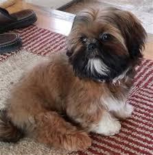 beautiful shih tzu dog