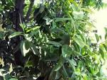 india-rubber plant