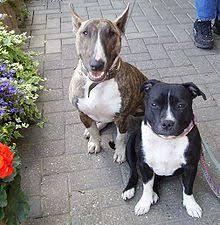miniature bull terrier vs standard. Plain Bull Bull Terrier Left And Staffordshire Terrier Miniature  Intended Vs Standard I
