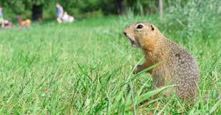 if you are having a hard time keeping the gophers away this summer read on below for a few top tips to help you keep your garden gopher free