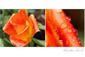 Tulpe Nach Regendusche Foto Bild Pflanzen Pilze