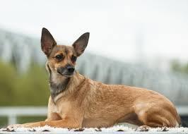 most por dog breeds that don t shed