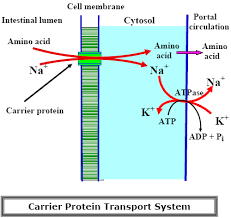 Protein Absorption Chart Protein Digestion And Absorption