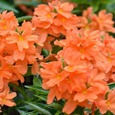 crossandra loose flower