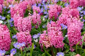 fragrant flowers list hyacinth