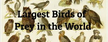 7 Largest Birds Of Prey In The World Largest Org