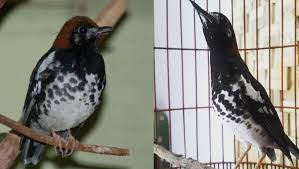 Terapi decu i masteran decu kembang ngeplong untuk memancing. Ciri Ciri Burung Decu Kembang Jantan Cute766