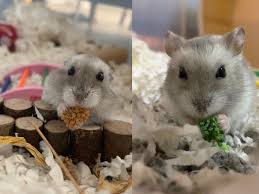 how to take care of hamsters a guide