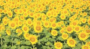 Free Images outdoor field meadow fall flower cute summer