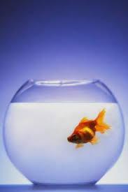 Life Span Of Shubunkin Goldfish Animals Mom Me