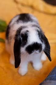 cute baby bunnies with floppy ears.  Cute Bunny Mini Lop Bunnies Bunny Bunny Rabbits Cute Baby Bunnies For With Floppy Ears L
