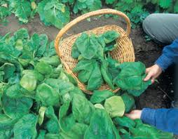 Image result for spinach garden