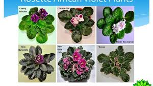 african violet plant types rosette and trailing