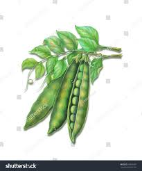 watercolor painting sugar pea hand drawn watercolor painting on white background high resolution