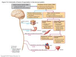 Central Nervous System Vs Peripheral Nervous System Venn Diagram Flow Chart Showing The Divisions Of The Nervous System Anatomical