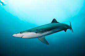 Resultat d'imatges de tintorera tiburon del mediterraneo