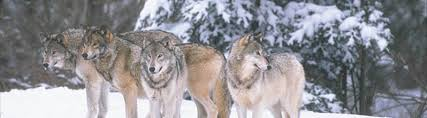 gray wolf pack playing. Brilliant Playing And Gray Wolf Pack Playing