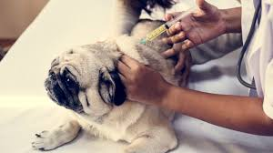 Pug Dog Vaccination Chart Dog Vaccinations The Shots Your Puppy Really Needs