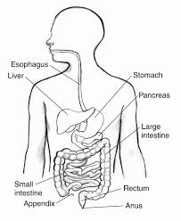 Simple diagram of human digestive system digestive system simple rh theanatomybody data system diagram teachers labeled diagram respiratory system