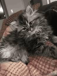 lulu kitten gif lulu kitten gifs
