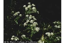 Plants Profile for Conium maculatum (poison hemlock)