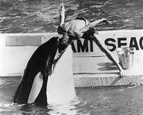 killer whale attacks on humans. Killer Whale Attacks On Humans Bing Images And