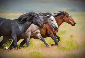 fine art photograph photography of wild horses photography of wild horses horses horse three mares on the run