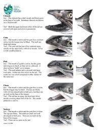 Salmon Species Identification Mosquito Creek