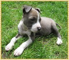 Ferner erhalten sie von uns wichtige informationen zur anschaffung, welpengesundheit und erste erziehungstipps. American Staffordshire Terrier Welpen Blue Line In Dusseldorf Tiere Kleinanzeigen