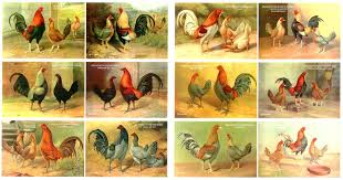 Gamefowl Chart Game Fowl English Games Rooster Breeds