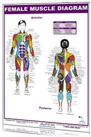 Female Muscle Diagram Clinical Charts And Supplies