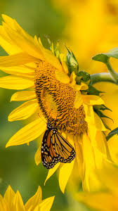 938x1668 wallpaper sunflower erfly yellow summer