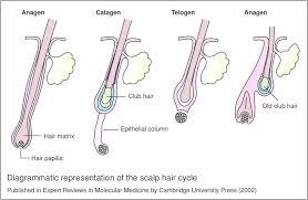 scalp hair cycle