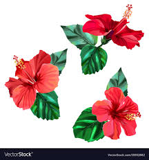 hibiscus flowers three beautiful red hibiscus flowers with leaves vector image