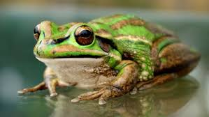 image of a frog. Brilliant Frog A Salty Cure For A Deadly Frog Disease  ABC News Australian Broadcasting  Corporation And Image Of Frog