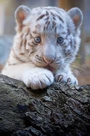 baby white tigers with blue eyes. Adorable White Tiger Cub With Baby Blue Eyes Intended Tigers Pinterest