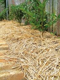 best mulch for garden. Wonderful For Sugarcane Mulch For Best Garden G