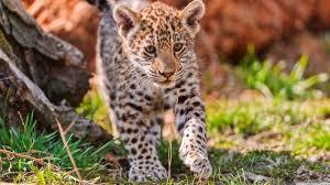 baby jaguar wallpaper. Delighful Jaguar Jaguar Wild Nature Cute Animal Inside Baby Jaguar Wallpaper A
