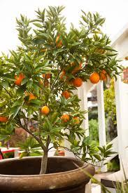 Fruitbearing Tree Kumquat Asian Fruit Like Stock Photo 253459972 Small Orange Fruit On Tree